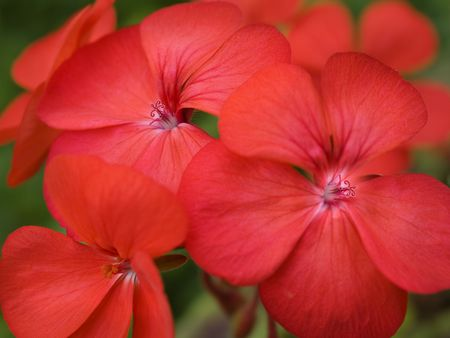 colorful red spring flowers geranium blossoms brightly colored photo