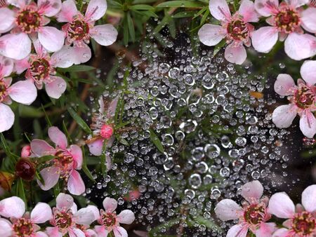spring rain water drops on spiderweb with pink flowers background