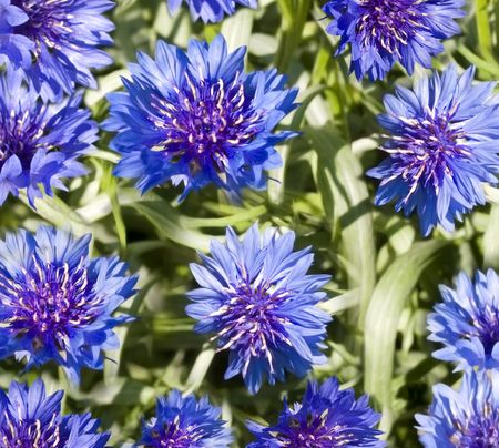 spring flowers blue cornflower with green foliage wallpaper backdrop Stock Photo - 7915292