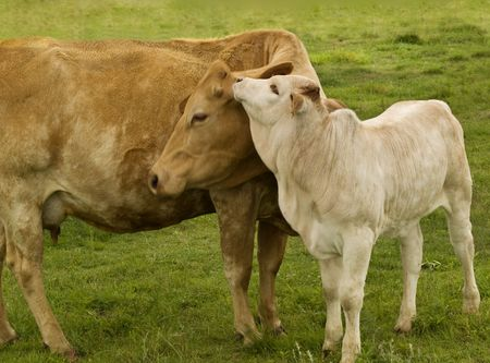 spring time mother  love - rural scene, charolais cow with baby brahman cross calf