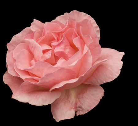 mothers day love with pink rose flower blossom closeup on black  background