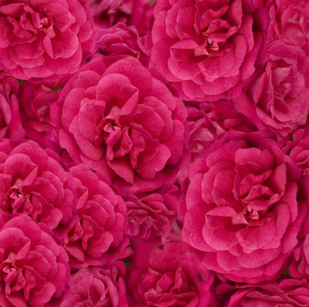 beautiful floral cerise pink rose flower background