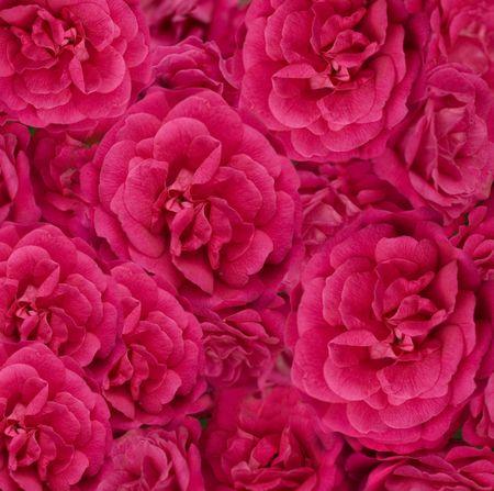 beautiful floral cerise pink rose flower background