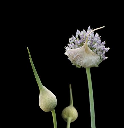 organic herb flower garlic flowering head and buds isolated on black photo