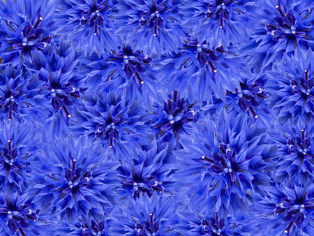 blue spring flowers floral background array of blue cornflowers