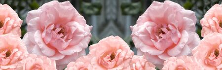 beautiful flowers pink and apricot roses border photo
