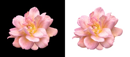 pink rose over black and white isolated backgrounds photo