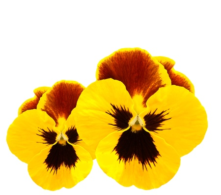yellow pansies winter pansy flower isolated on white