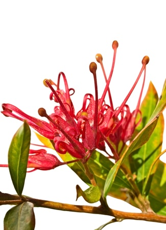 splendour: grevillea splendour Australian flower isolated with foliage