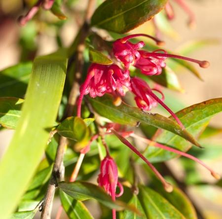splendour: Grevillea splendour red spider flower of an  Australian native plant
