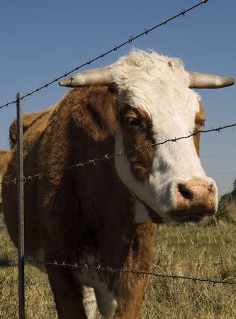 restraining: restrained simmental cow - barbed wire restraining fence to restrain farm animals Stock Photo