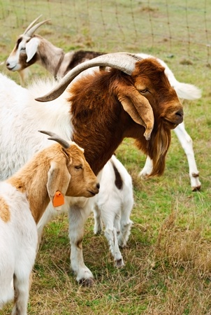 billy: Billy goat with nanny goats - animal with horns Stock Photo