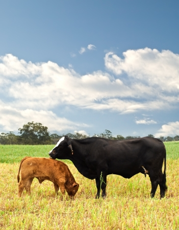 australian beef cow: mother and baby cow Australian bred beef cattle on agricultural pasture
