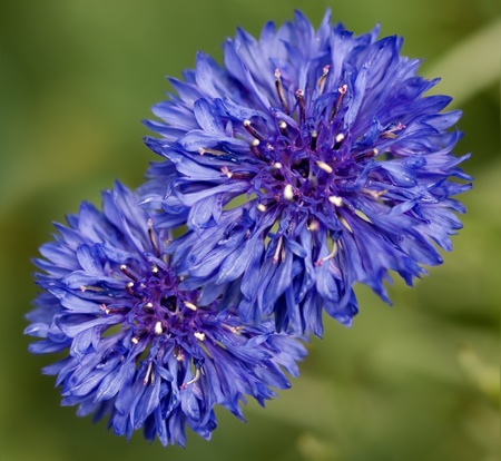 spring time two  beautiful blue cornflower flowers against green background