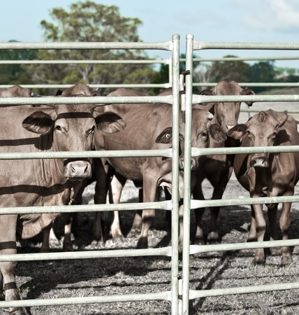 agricultural industry restrained beef cattle in corral ready for market Stock Photo