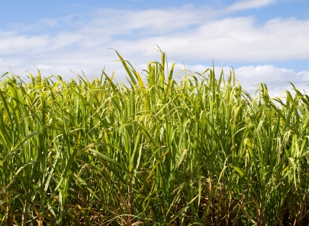 Australian agriculture Sugar cane plantation closeup with blue sky Stock Photo - 14151583