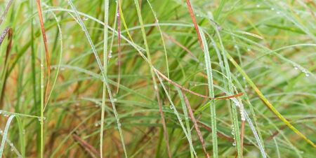 dewdrops: long wet green grass with dewdrops  background Stock Photo