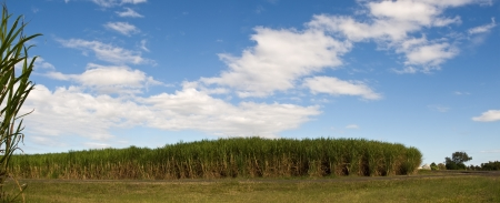 sugarcane plantation crop in Queensland Australian agriculture with blue sky and clouds panorama photo