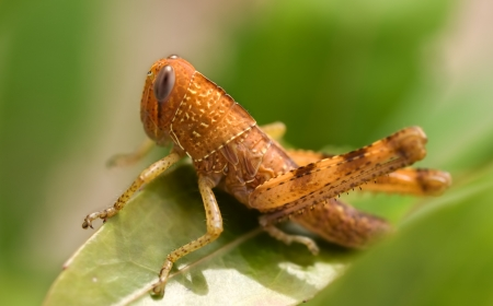 brown grasshopper insect garden pest on green leaf closeup photo