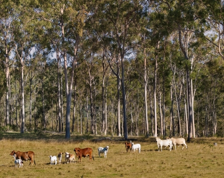 australian beef cow: Australian Rural Scene Gum Trees and Beef Cattle Cows Stock Photo