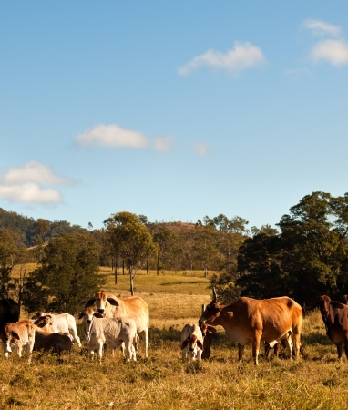 australian beef cow: Australian Beef Cattle with calves in rural Queensland