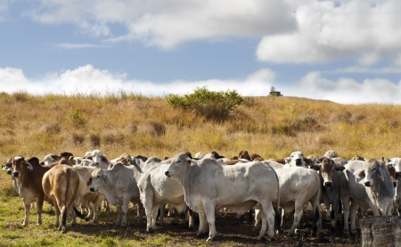 Herd of brahman beef cattle cows in rural Queensland Stock Photo