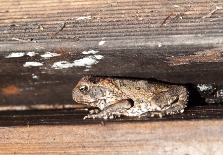 declared: Australian declared pest small cane toad sheltered in timber
