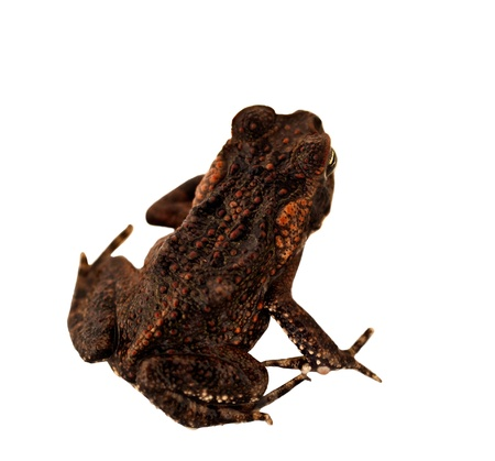 declared: Juvenile Australian Cane Toad Declared Pest isolated on white