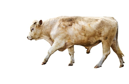Isolated yearling cow beef cattle breed on white