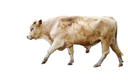carne de res: Aislado carne de vaca yearling ganado raza en blanco Foto de archivo