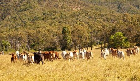 Beef Rump meat industry behind of cow herd in farmland photo