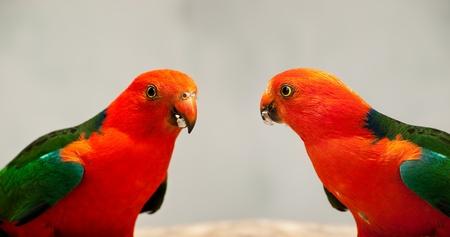 Red Head male Australian King Parrot Alisterus scapularis native birds close-up