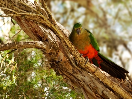 king parrot: Spring Young Immature Australian King Parrot in a paperbark tree