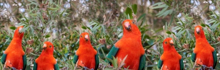 king parrot: Red headed Australian male king parrot panoramic background