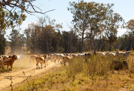 Brahman cows crossing dusty rural Queensland gravel road in Australian cattle country landscape Stock Photo