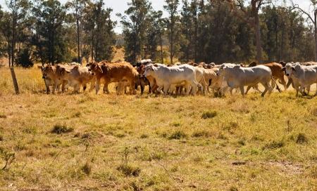 cattle: Australia Rural pa�s ganadero con reba�o de color rojo y gris vacas de carne Brahman se mueve a trav�s paddock polvoriento