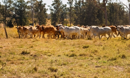 Rural Australia cattle country with herd of red and grey Brahman beef cows moving across dusty paddock