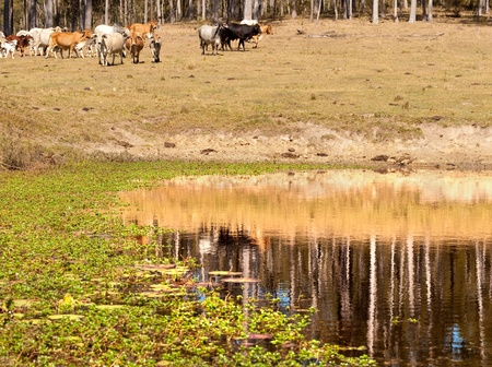 Cows heading to a dam with reflections of gum trees and water plants in cattle country photo