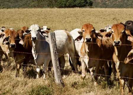 Australian brahma beef cattle line along a barbed wire fence, red cows grey cow