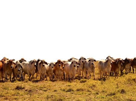 Australian Beef Cattle Herd of brown and grey brahman cows isolated against white background