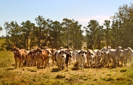 australia farm: Australian brahman beef cattle line, red cows, grey cow, live animals on ranch