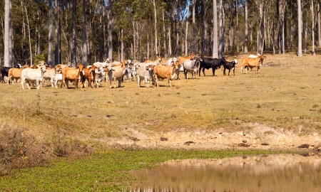 black angus cattle: Australian beef cattle brown grey black near water dam against gum trees, spotted gum Stock Photo