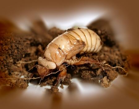 scarabaeidae: ustralian Christmas beetle larvae  Scarabaeidae Anoplognathus metamorphisis Stock Photo