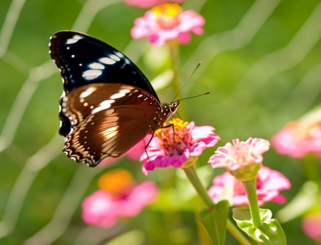 Australian wildlife living butterfly Common eggfly species live on a pink flower photo