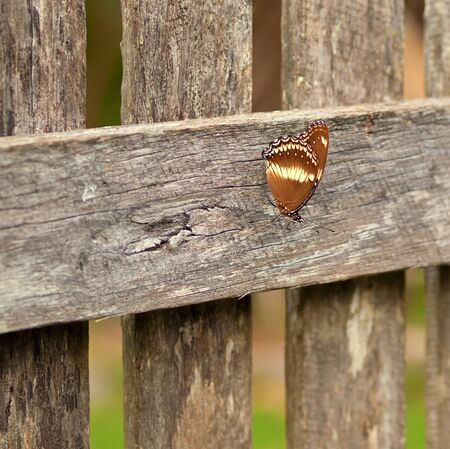 paling: Autumn day australian butterfly rests on old wood paling fence background Stock Photo