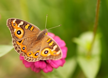 Live insect Australian butterfly Meadow argus Junonia villida brown nymphalidae Stock Photo - 16944458