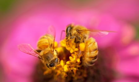 pollinate: Honey worker bees live insects pollinate pink flower