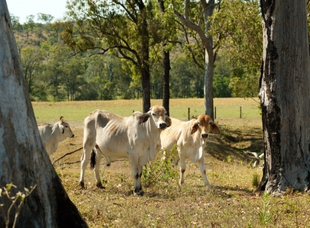 brahman: Rural landscape Australian beef cattle ranch pastoral farm young brahman bulls for agriculture meat industry