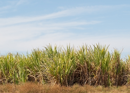 Sugar cane plantation farm with blue sky copy space Stock Photo - 16193226