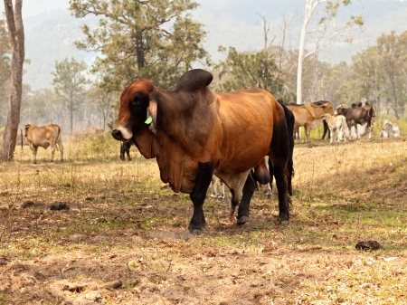 Big entire red brown brahman bull with herd of cows steers bullocks and calfs on ranch farm